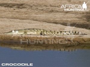 crocodile1
